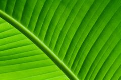 Cierre retroiluminado encima de los detalles de la estructura verde fresca de la hoja del plátano como fondo natural del verde de Fotografía de archivo