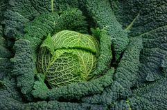 Cierre rizado orgánico completo de la col verde para arriba Imagen de archivo