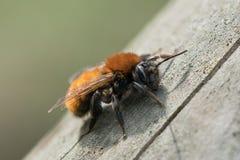 Cierrerojizo de la abeja de mina de para arriba Imágenes de archivo libres de regalías