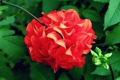 Cierre rojo abigarrado elegante de la dalia para arriba en el foco selectivo del jardín Imagen de archivo