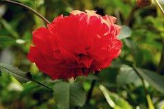 Cierre rojo abigarrado elegante de la dalia para arriba en el jardín Fotos de archivo