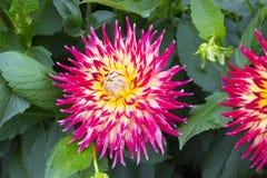 Cierre rojo de la flor de la dalia del brote para arriba en el jardín Fotografía de archivo