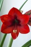 Cierre rojo de la flor del hippeastrum para arriba Foto de archivo libre de regalías