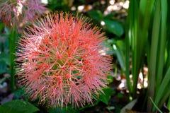 Cierre rojo de la flor para arriba foto de archivo libre de regalías