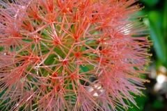 Cierre rojo de la flor para arriba imagen de archivo libre de regalías