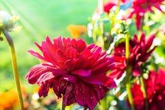 Cierre rojo de la macro de la flor para arriba en el jardín Foto de archivo