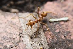 Cierre rojo de la macro de la hormiga para arriba Imágenes de archivo libres de regalías