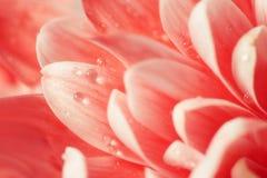 Cierre rojo del crisantemo para arriba fotografía de archivo libre de regalías