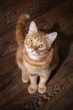 Cierre rojo del gato para arriba Fotografía de archivo