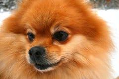 Cierre rojo del perro de Pomerania para arriba imágenes de archivo libres de regalías