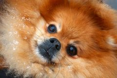 Cierre rojo del perro de Pomerania para arriba foto de archivo libre de regalías