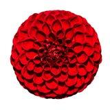 Cierre rojo floreciente de la dalia para arriba aislado Fotos de archivo libres de regalías