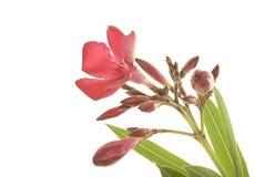 Cierre rojo robusto del Oleander para arriba Fotografía de archivo