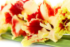 Cierre rojo y amarillo brillante del gladiolo encima de horizontal Fotografía de archivo