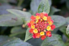 Cierre rojo y amarillo de la flor para arriba Imagenes de archivo