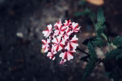 Cierre rojo y blanco hermoso del fondo encima de la flor salvaje floreciente de la flor fotos de archivo libres de regalías
