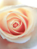 Rosa romántica del rosa Fotografía de archivo libre de regalías