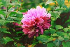 Cierre rosado abigarrado elegante de la dalia para arriba en el foco selectivo del jardín Fotografía de archivo libre de regalías