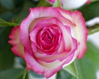 Cierre rosado colorido de la rosa del blanco para arriba fotos de archivo