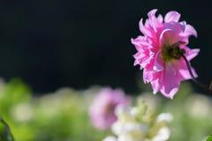 Cierre rosado de la dalia para arriba con el fondo borroso Imagen de archivo
