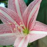Cierre rosado de la flor Imagen de archivo libre de regalías