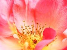 Cierre rosado de la flor de la amapola para arriba Foto de archivo libre de regalías