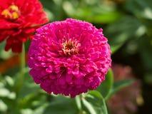 Cierre rosado de la flor de la dalia para arriba Fotos de archivo libres de regalías