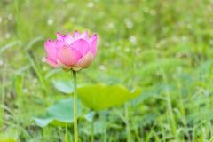 Cierre rosado de la flor de loto para arriba Foto de archivo libre de regalías