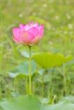 Cierre rosado de la flor de loto para arriba Imagen de archivo