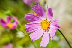 Cierre rosado de la flor del cosmos para arriba en fondo borroso Planta de jardín decorativa Imágenes de archivo libres de regalías
