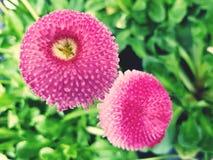Cierre rosado de la flor para arriba Fotos de archivo