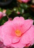 Cierre rosado de la flor para arriba. Imagen de archivo libre de regalías
