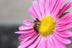Cierre rosado de la flor para arriba con la abeja en ella Foto de archivo libre de regalías