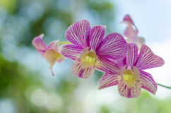 Cierre rosado de la orquídea para arriba Imagen de archivo