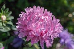 Cierre rosado del aster para arriba Imagen de archivo libre de regalías