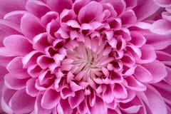 Cierre rosado del extracto de los pétalos de la flor para arriba Foto de archivo