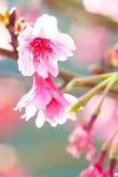 Cierre rosado del flor de Sakura para arriba Imagen de archivo libre de regalías