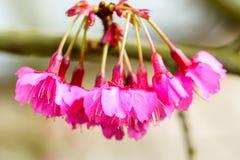 Cierre rosado del flor de Sakura para arriba Foto de archivo libre de regalías