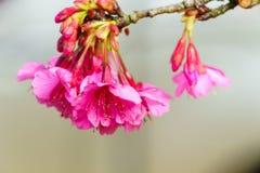 Cierre rosado del flor de Sakura para arriba Fotografía de archivo libre de regalías