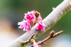 Cierre rosado del flor de Sakura para arriba Fotos de archivo libres de regalías
