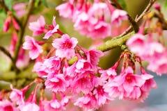 Cierre rosado del flor de Sakura para arriba Foto de archivo