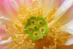 Cierre rosado del loto para arriba Fotografía de archivo