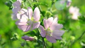 Cierre rosado púrpura del Malva de las flores de la malva del prado para arriba almacen de metraje de vídeo