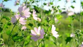Cierre rosado púrpura del Malva de las flores de la malva del prado para arriba almacen de video