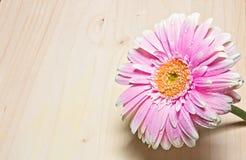 Cierre rosado y blanco de la flor del gerbera para arriba en el fondo de madera Foto de archivo