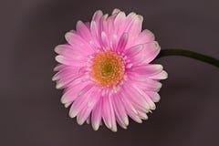 Cierre rosado y blanco de la flor del gerbera para arriba en fondo oscuro Fotografía de archivo libre de regalías