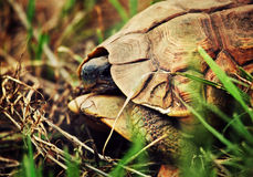 Cierre salvaje de la tortuga del leopardo para arriba, Tanzania África Imagenes de archivo