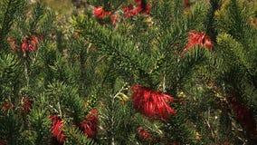 Cierre sedoso-con hojas australiano occidental de la flor de sangre para arriba almacen de metraje de vídeo