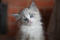 Cierre siberiano divertido hermoso del gatito para arriba Fotos de archivo libres de regalías