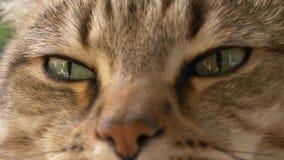 Cierre soñoliento del retrato del gato para arriba almacen de metraje de vídeo